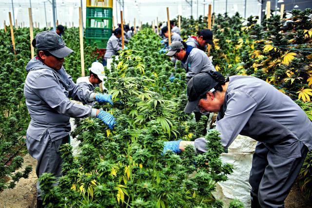 Marihuana recreativa en México: el Congreso está a punto de legalizarla -  Latinoamérica - Internacional - ELTIEMPO.COM