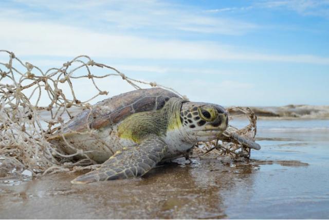El 97 % de las tortugas marinas rescatadas comieron plástico por ...