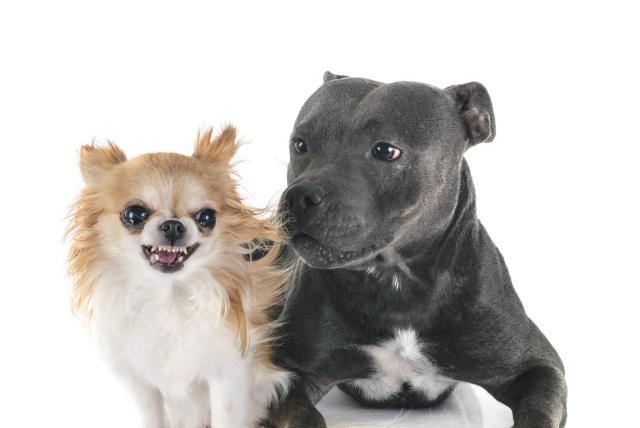 Estudio dice que los perros chihuahua son los más agresivos - Vida -  ELTIEMPO.COM