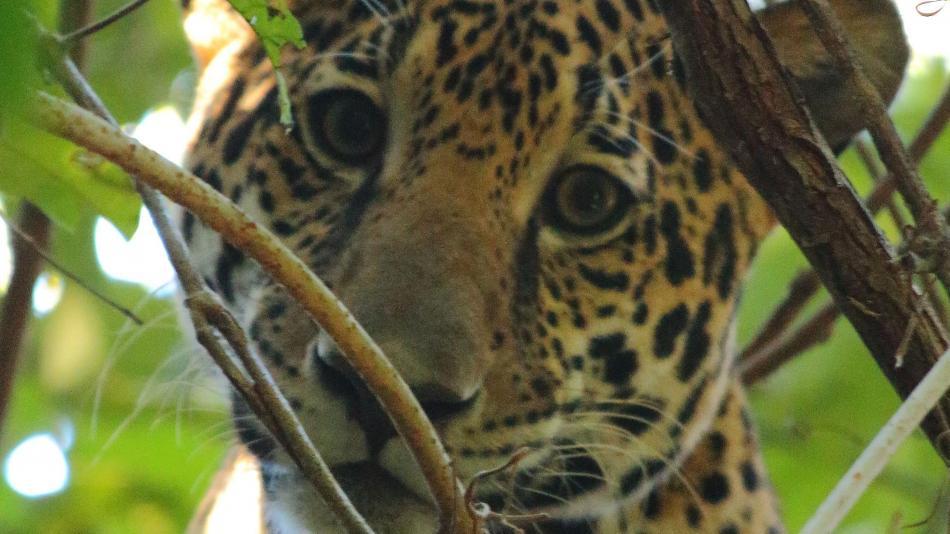 solo 14 % del área donde habita el jaguar en colombia está protegida