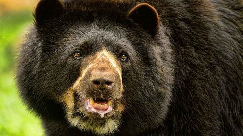 Importancia del oso andino para los ecosistemas - Novedades Tecnología -  Tecnología - ELTIEMPO.COM
