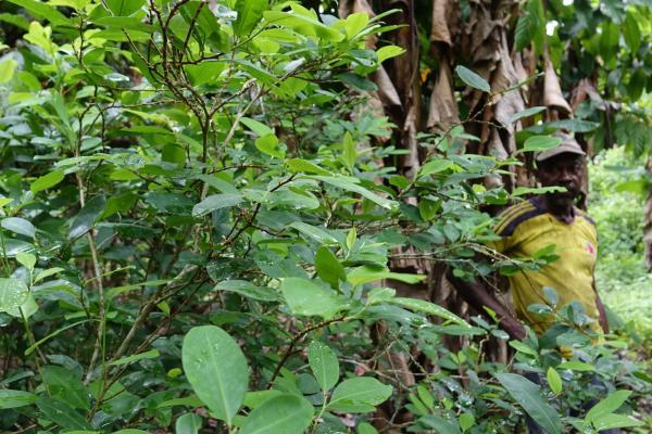cultivo de coca en Tumaco (Nariño)