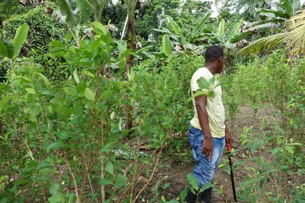 Cultivos de coca en Tumaco