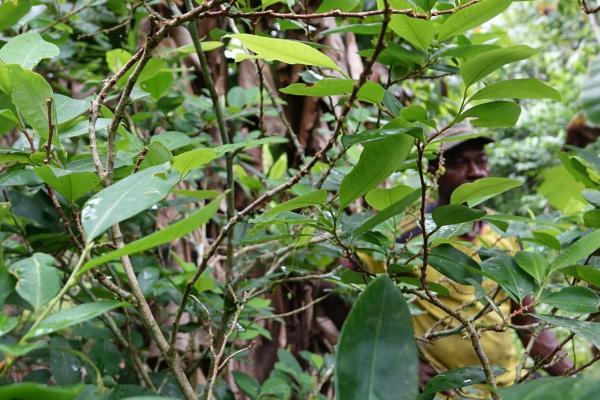 cultivo de coca en Tumaco