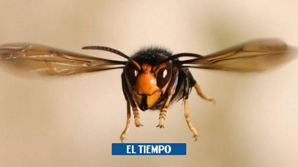 ¿Por qué preocupa tanto la llegada del avispón gigante asiático?