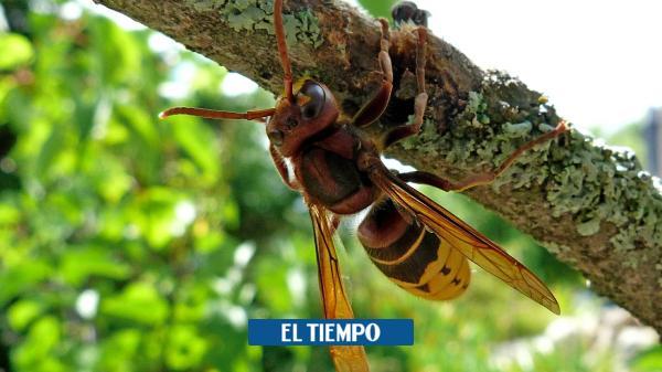 Video: Así mata el avispón gigante asiático a un ratón
