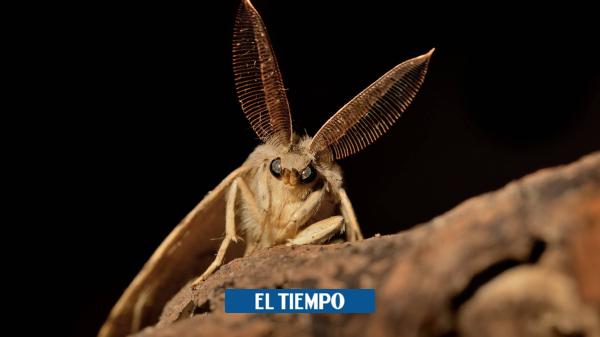 Polillas gitanas, otro insecto que genera alerta en Estados Unidos