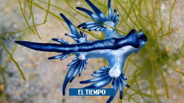 Dragones azules: hallan peligrosos animales en costas de Texas ...