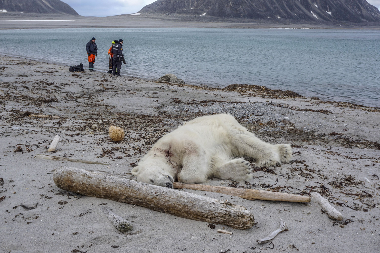 Aumenta el canibalismo entre los osos polares, dicen científicos rusos -  Medio Ambiente - Vida - ELTIEMPO.COM