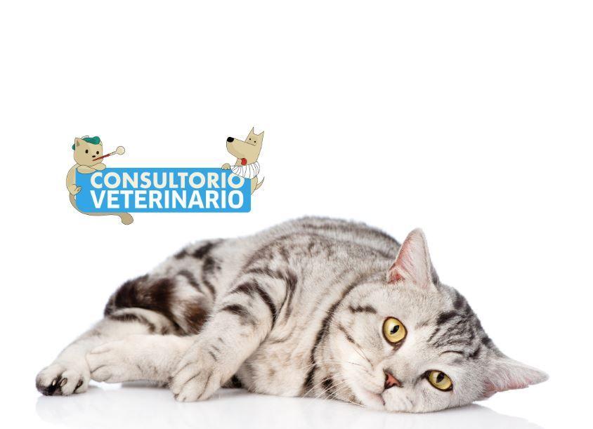 ¿Tiene gatos? Veterinarios responden 2 preguntas comunes sobre felinos