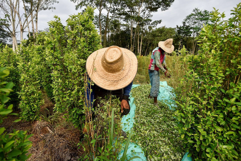Cifras récord de cultivos y de producción de coca en Colombia en 2019 -  Conflicto y Narcotráfico - Justicia - ELTIEMPO.COM