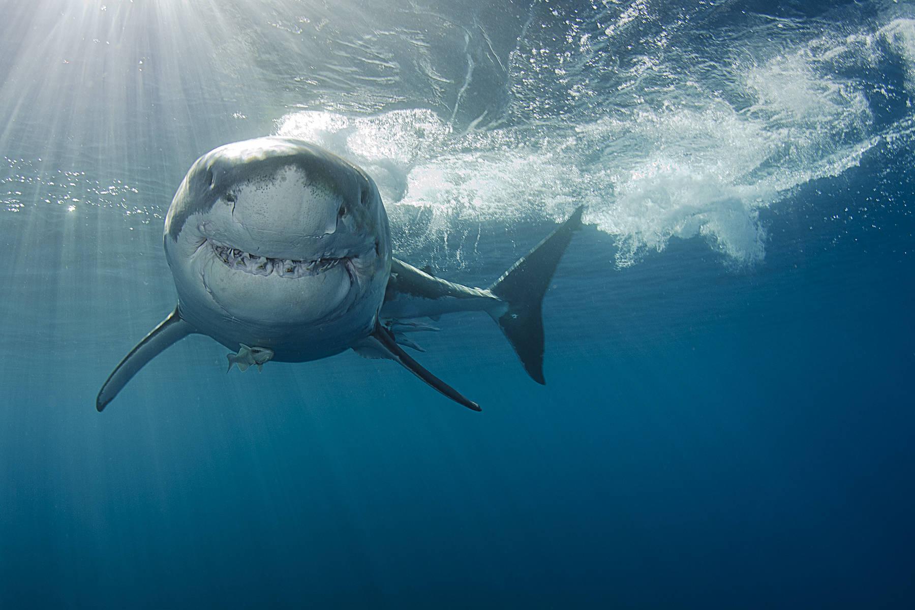 Ataque Tiburon Estrella Porno Fake video: perro de youtuber casi es devorado por tiburón blanco