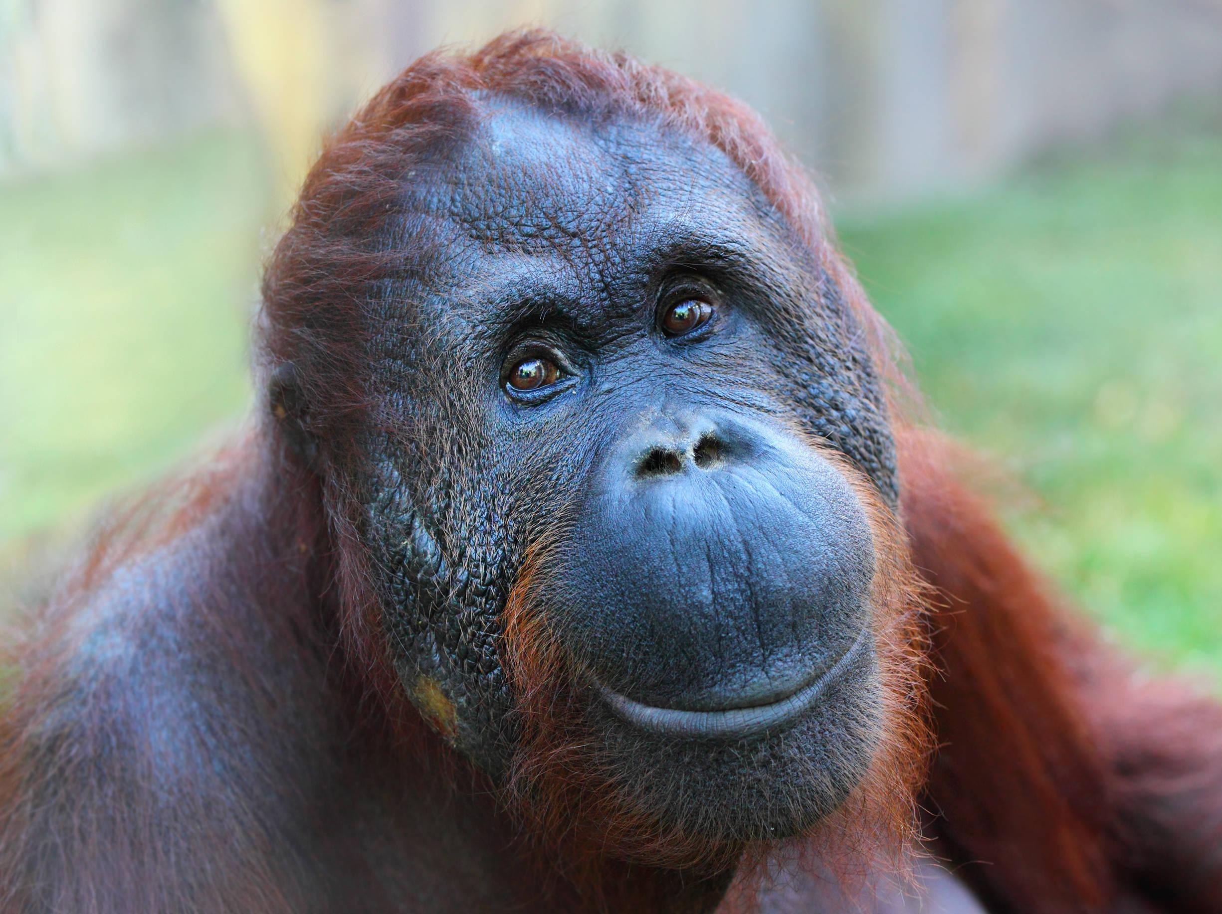 Amamantando A Un Hombre Porno video de orangután acompañando a mujer mientras amamanta