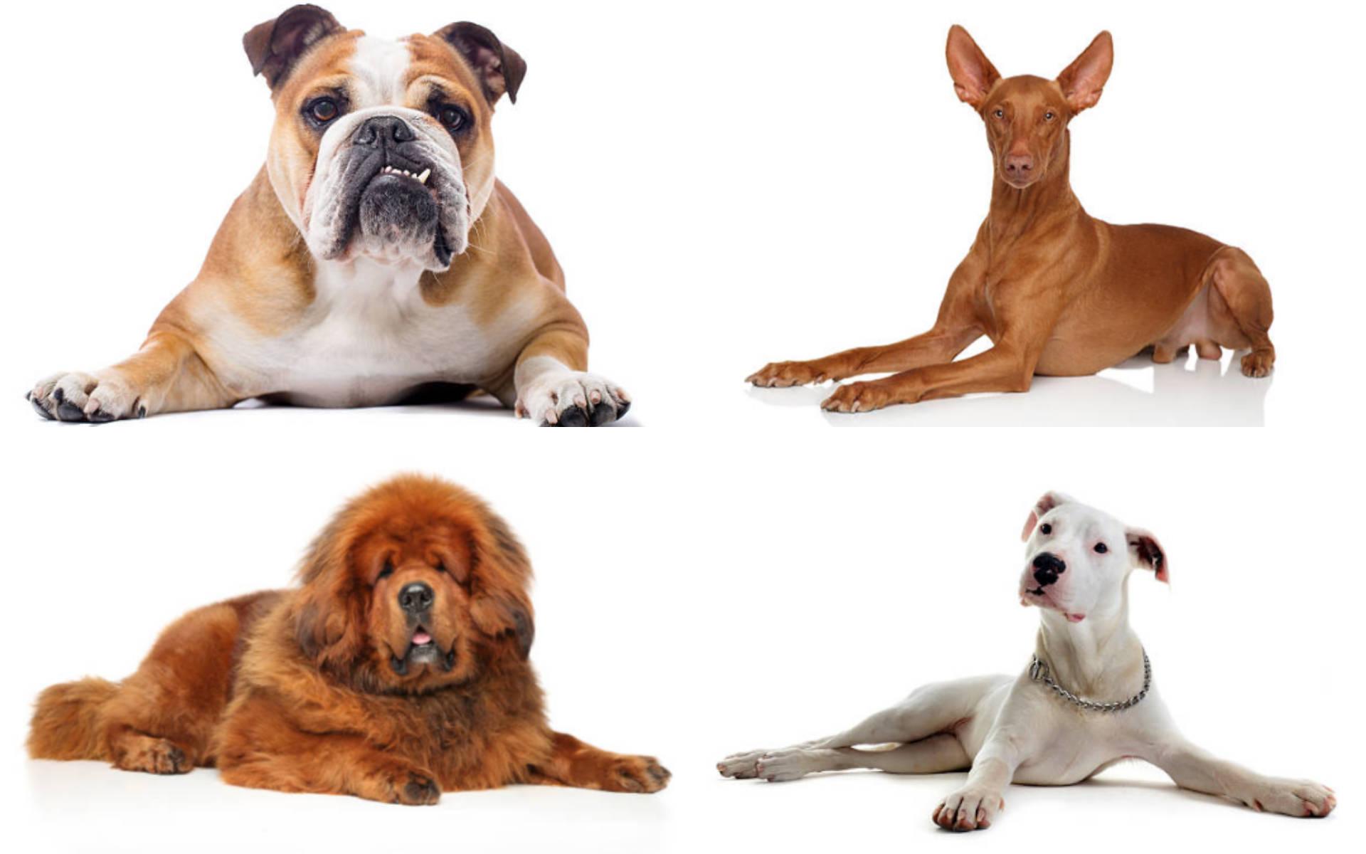 Mascotas: las razas de perros más caras del mundo - Gente - Cultura -  ELTIEMPO.COM
